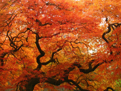 acer-laceleaf-maple-fall_small