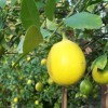 pnk hs mcgrath lemons
