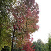 Liquidambar styraciflua (Photo by Jean-Pol GRANDMONT)