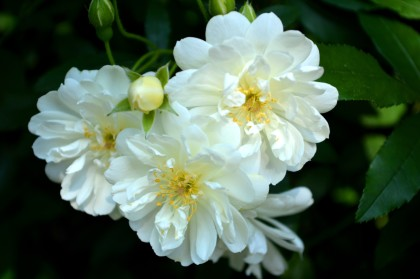 White Rose 04
