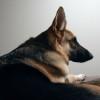 Morguefile police dog
