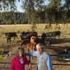 Jim and Mary Rickert Leopold Finalists at property near Anderson CA with closed herd cattle and calfs