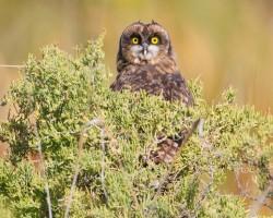 short-eared-owl7