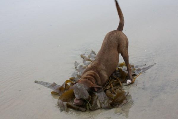 Hazeldog kelp