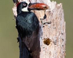 acorn-woodpecker55