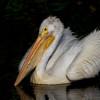 American-white-pelican122