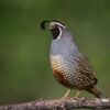 California-quail76