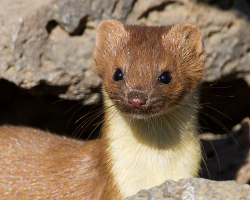 long-tailed-weasel-thumb