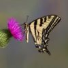 western-tiger-swallowtail66