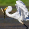 great-egret542