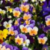 flowers-pansies-morguefile