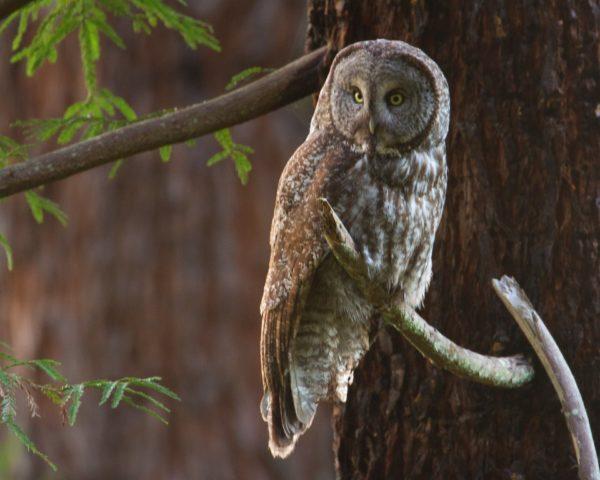 great-gray-owl7