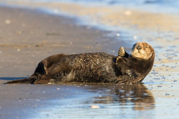 sea-otter24