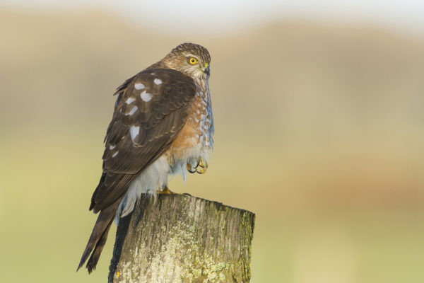 sharp-shinned-hawk3