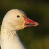 snow-goose96