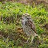 burrowing-owl89