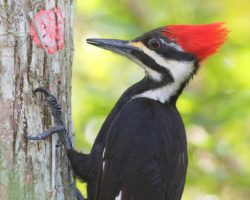 pileated-woodpecker12a