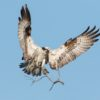 osprey304