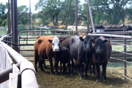 Cattle on their way to sale at the Shasta County Livestock Auction.