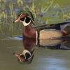 wood-duck116