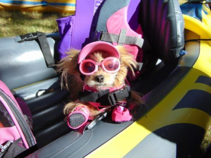 yorkie with doggles