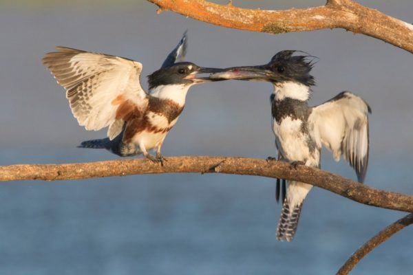 belted-kingfisher609