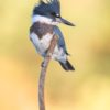belted-kingfisher633