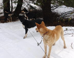 sled-dogs-3