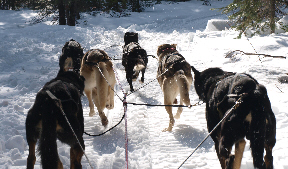 sled-dogs-5