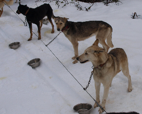 sled-dogs-6