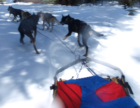 sled-dogs-8