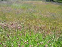 Clear Creek Greenway wildflowers