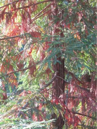 ailing-redwood