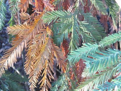 redwwod-leaves