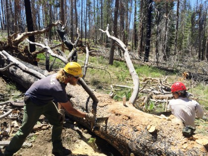 NPS Trail Worker Ben Darnell and PCTA volunteer Robert Parks  using a freshly sharpened saw to clear a large lodgepole pine.