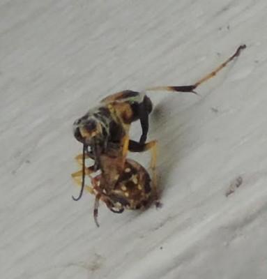 wasp eats spider