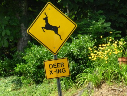 deer crossing Morguefile