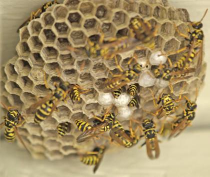 Yellow Jacket Bees