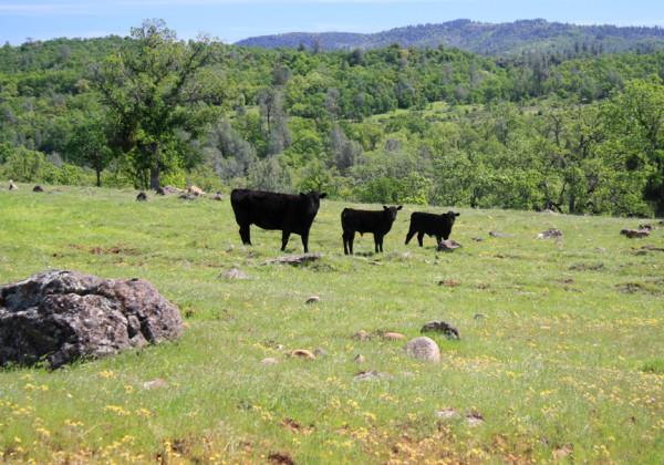 1.cows