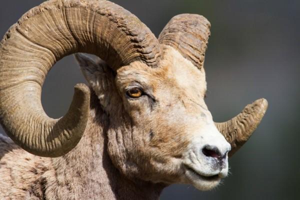 Bighorn Sheep photo by Dave Bogener