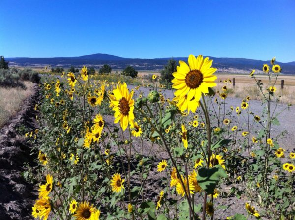 A bumper crop of sunflowers still line the California Outback roadways. Photos by H.A. Silliman.
