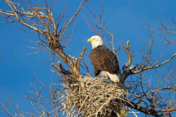 bald-eagle564