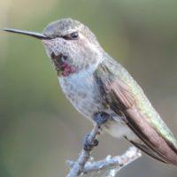 hummingbird-by-bill-siemer