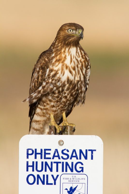 red-tailed-hawk84