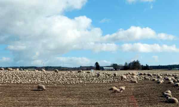 Hungry sheep munching their way through a field of turnips, planted just for them.