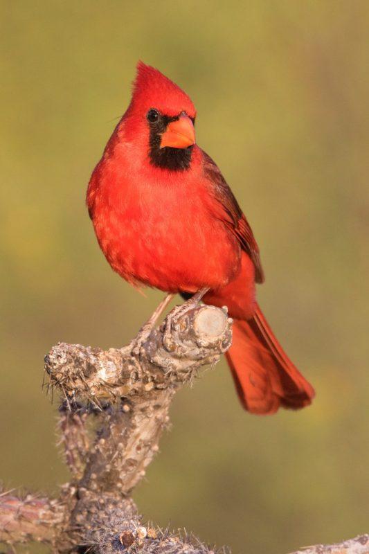 northern-cardinal68